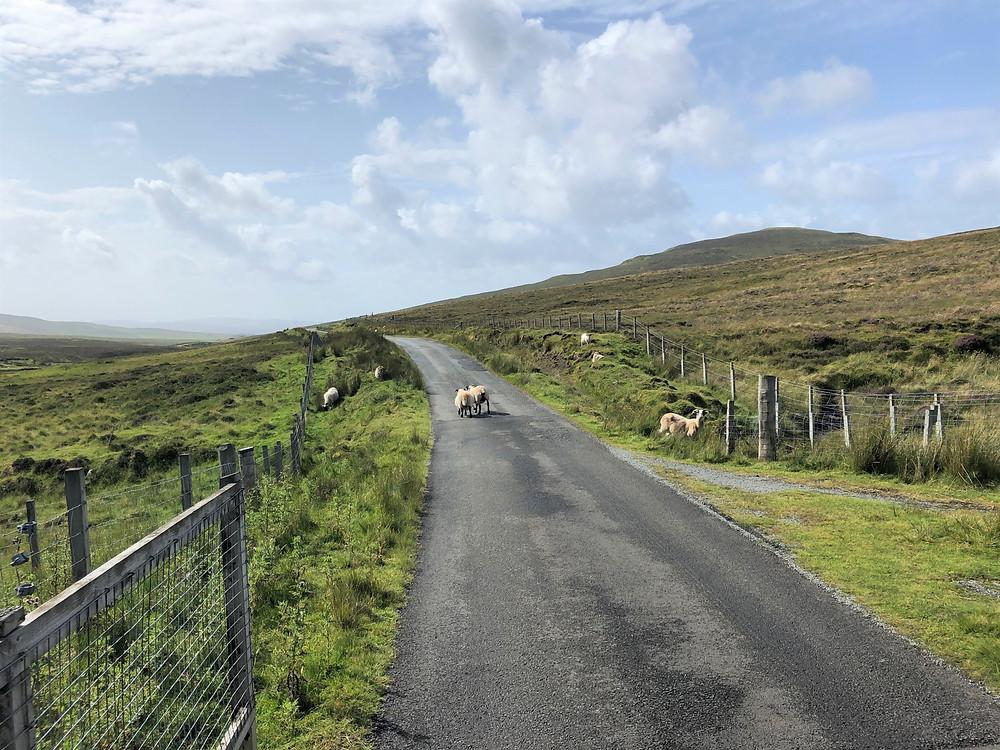 Sheep on the road along the coast of the Trotternish peninsula on the Isle of Skye