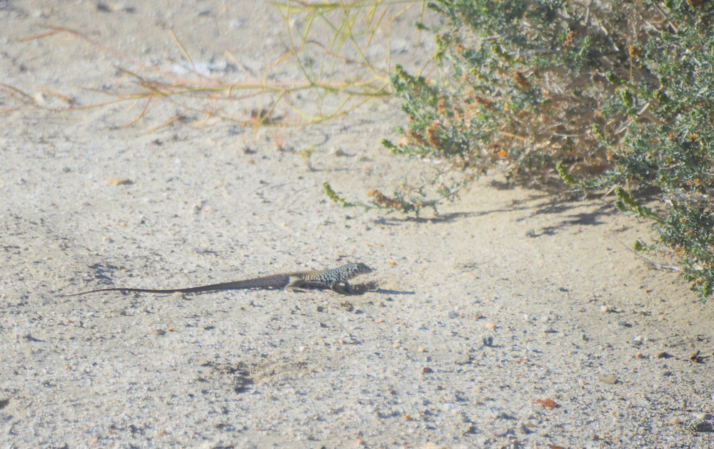 Western Whiptail lizard on the Kim Nichols trail in Indio Hills
