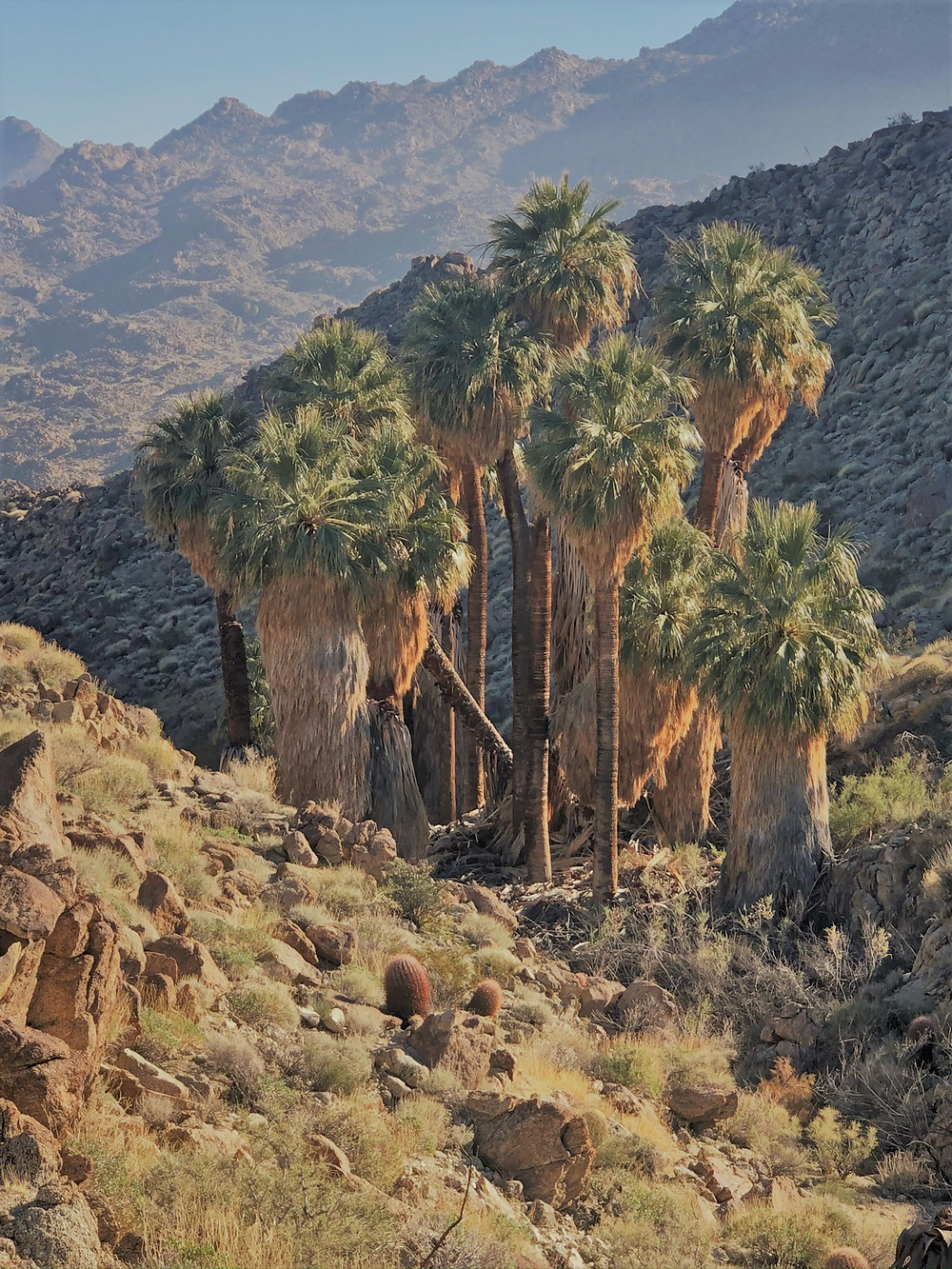 Second palm oasis along the Art Smith Trail in the Santa Rosa Mountains