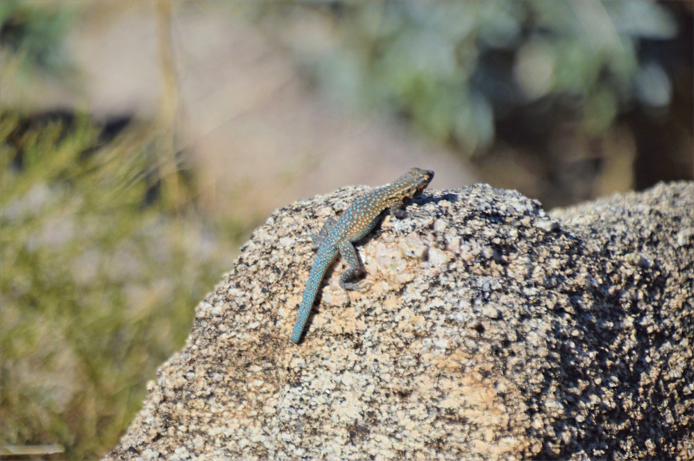 Side-blotched lizard on rock at the top of Murray Hill in the Santa Rosa Mountains