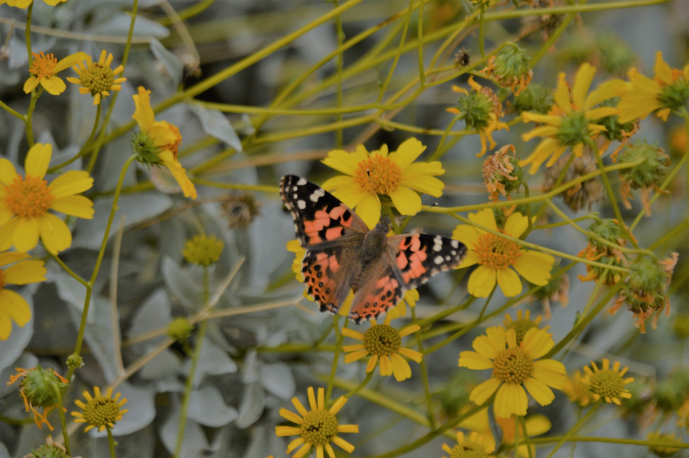 Painted lady butterflies in flowering encelia plant along the Indio Hills Badlands trail