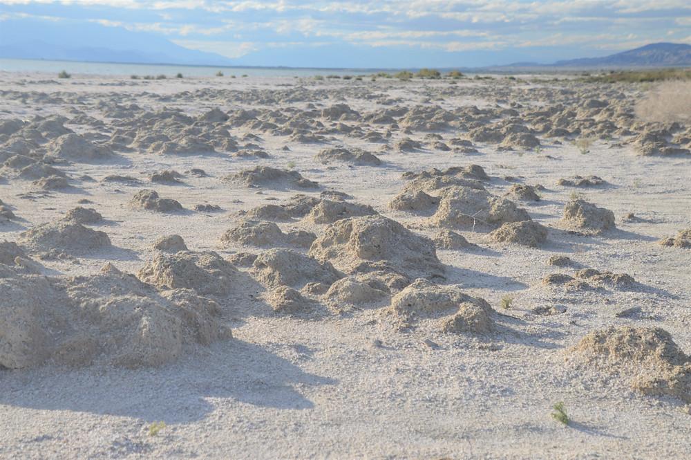 Piles of barnacles on Salton Sea beach