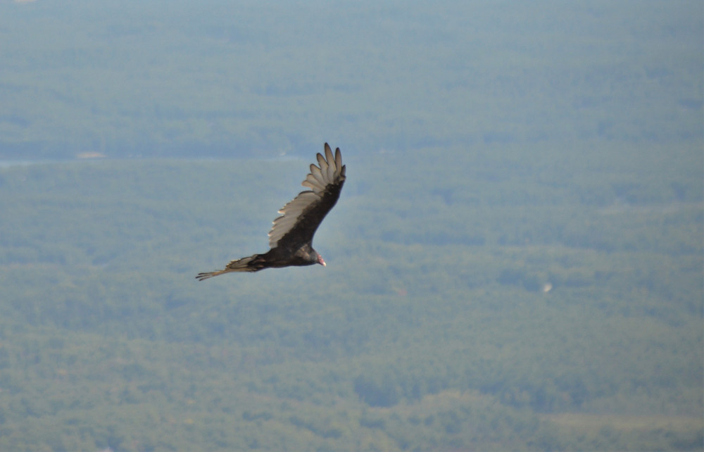 Turkey vulture flying above Mount Monadnock
