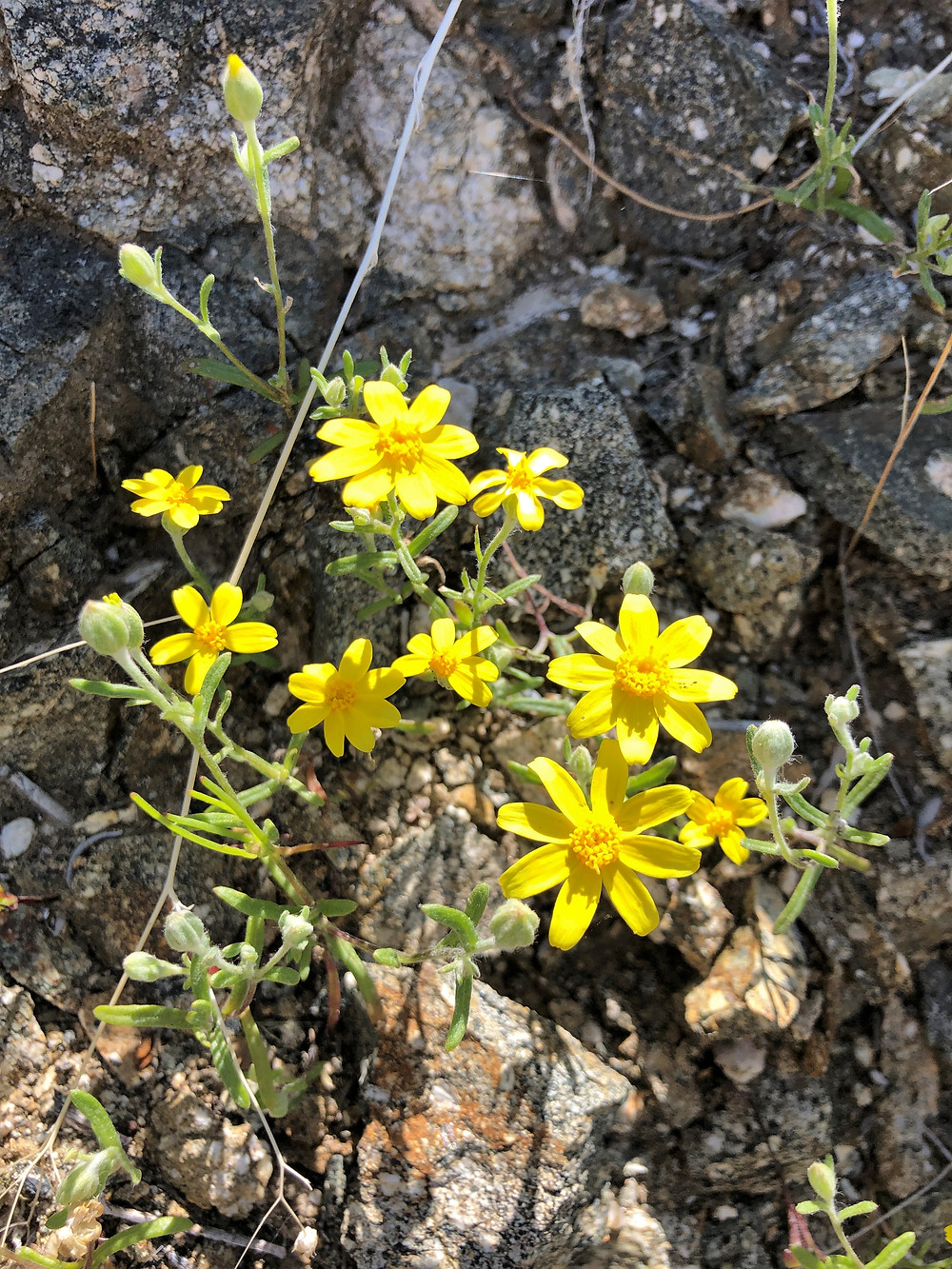 Wildflowers along Cathedral Canyon Loop Trail in Santa Rosa Mountains