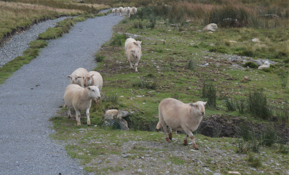 A flock of sheep on the Ranger Path leading to the summit of Snowdon