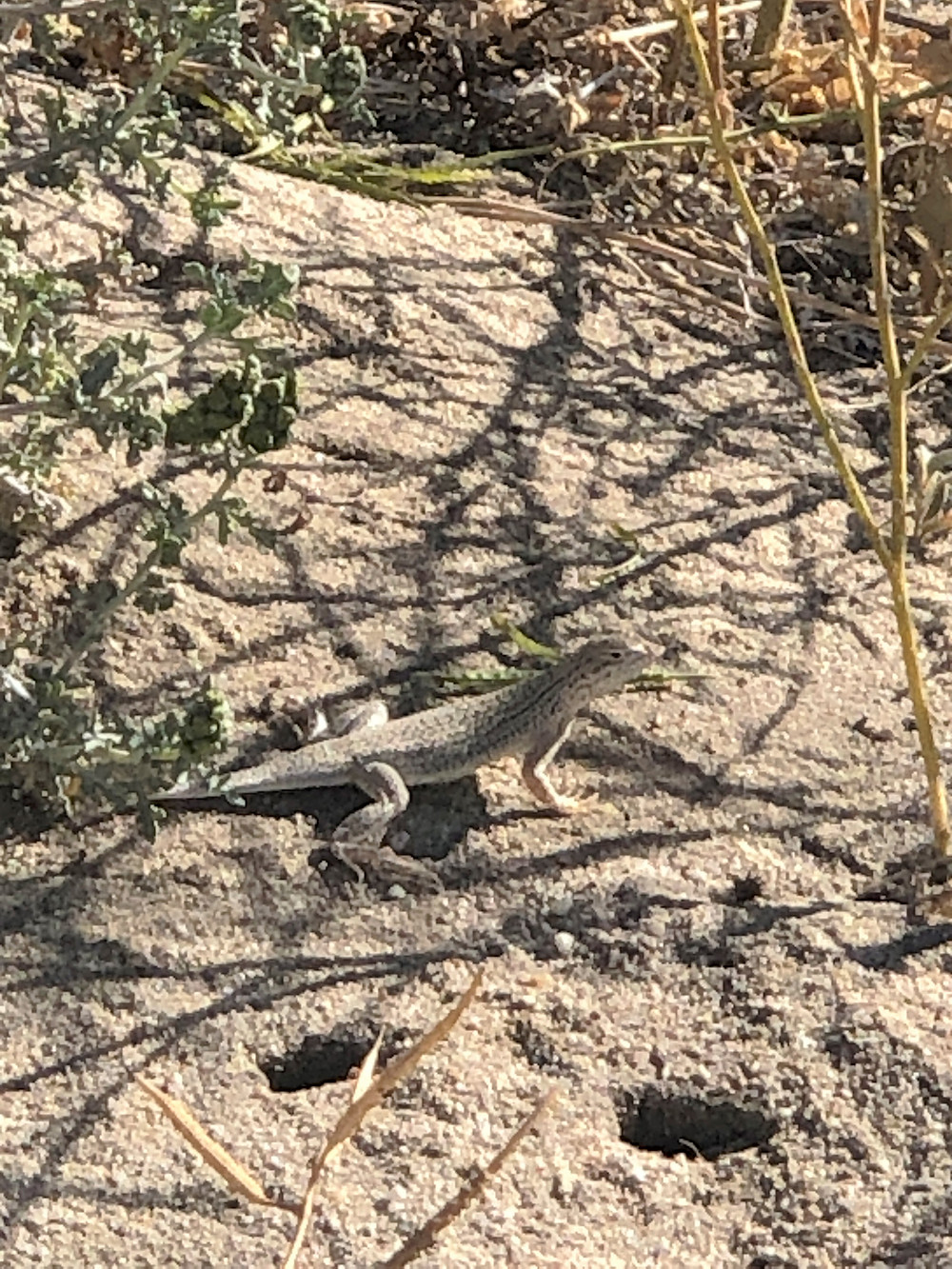 Coachella Valley Fringed-toed Lizard along the Kim Nichols Trail in the Indio Hills.