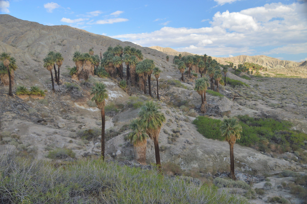 Ribbon on California palm trees growing in the San Andreas fault area