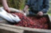 Coffee beans - Guatemala.jpg