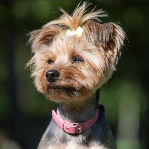 Lulu/Yorkshire Terrier