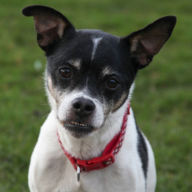 Sam/ Jack Russell Cross