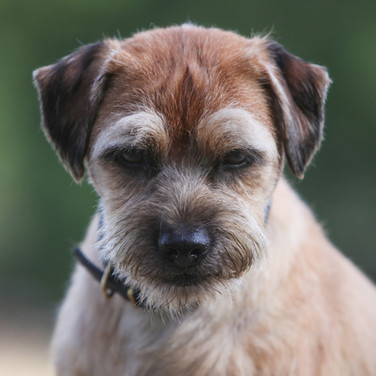Berty/Border Terrier