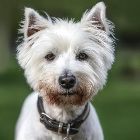 Kassie/West Highland Terrier