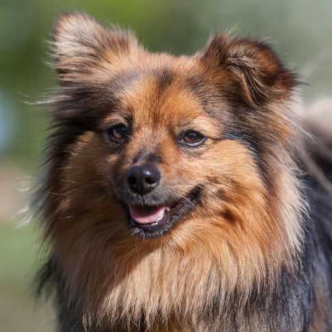 Etear/ Pomeranian