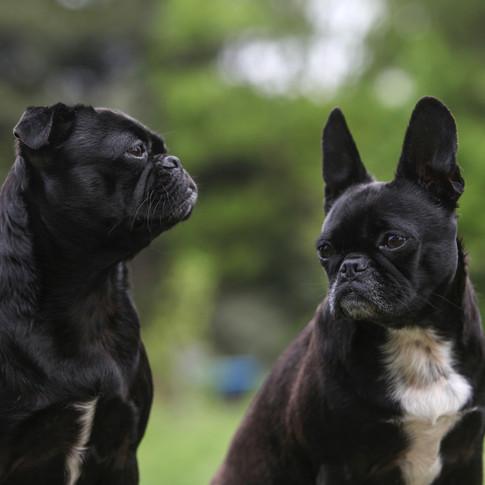 Pixie & Jet/ Pug Cross