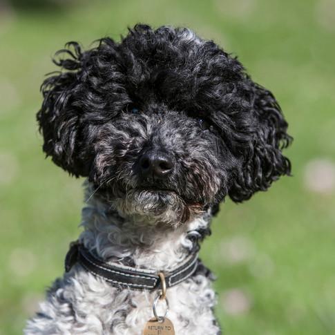 Twiz/Miniature Poodle