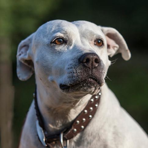 Kizzie Staffordshire Bull Terrier