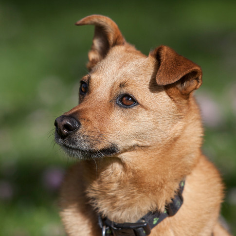 Tommy/Jack Russell Cross