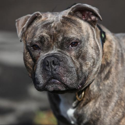 Beast/Staffordshire Bull Terrier Cross