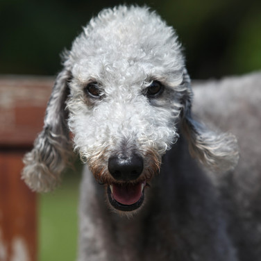 Gypsy Bedlington Terrier