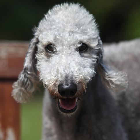 Gypsy Bedlington Terrier