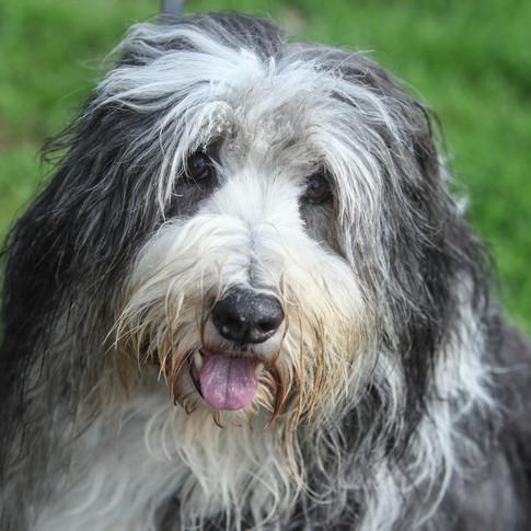 Dougal/Bearded Collie