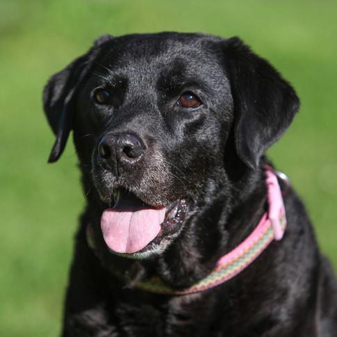 Meesha/Labrador