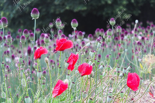 The Poppy Collection (9)