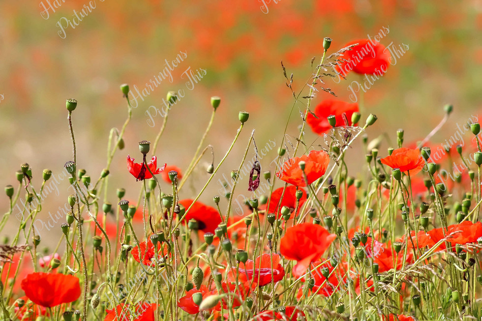 The Poppy Collection