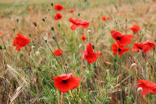 The Poppy Collection (16)