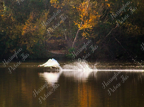 Swans and Wildlife (3)