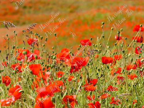 The Poppy Collection (8)
