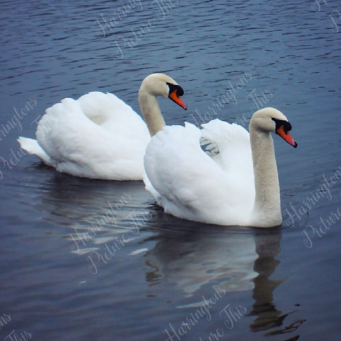 Swans and Wildlife (15)