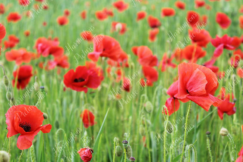 The Poppy Collection (14)