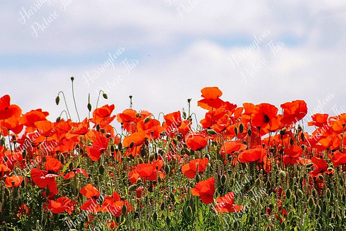 The Poppy Collection (4)