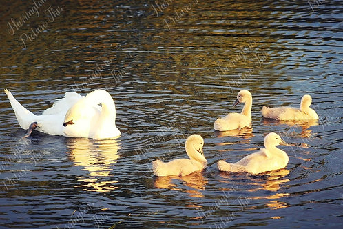 Swans and Wildlife (17)