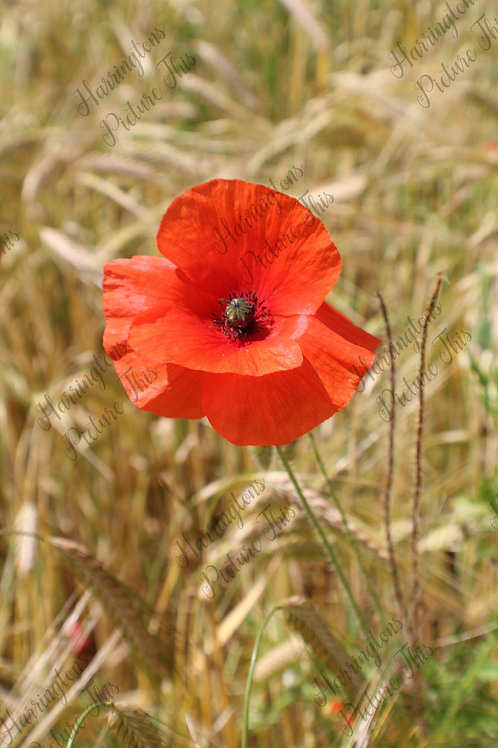 The Poppy Collection (13)