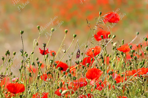 The Poppy Collection (7)