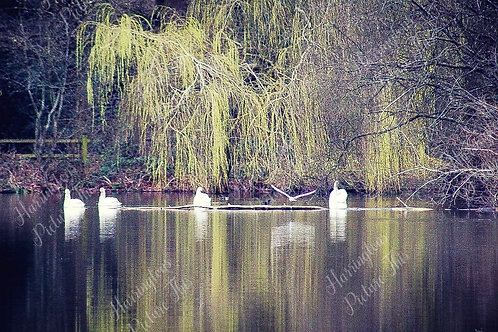 Swans and Wildlife (20)