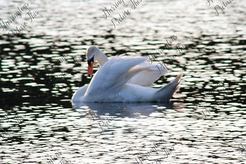 Swans and Wildlife (16)