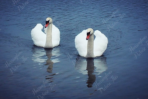 Swans and Wildlife (14)