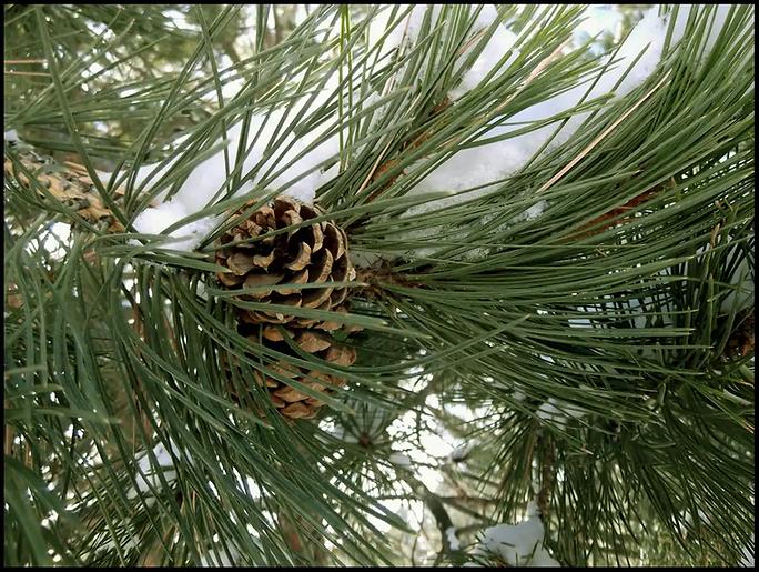 Pinecones.webp