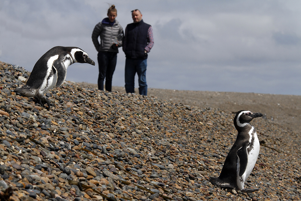 Megallanic penguins