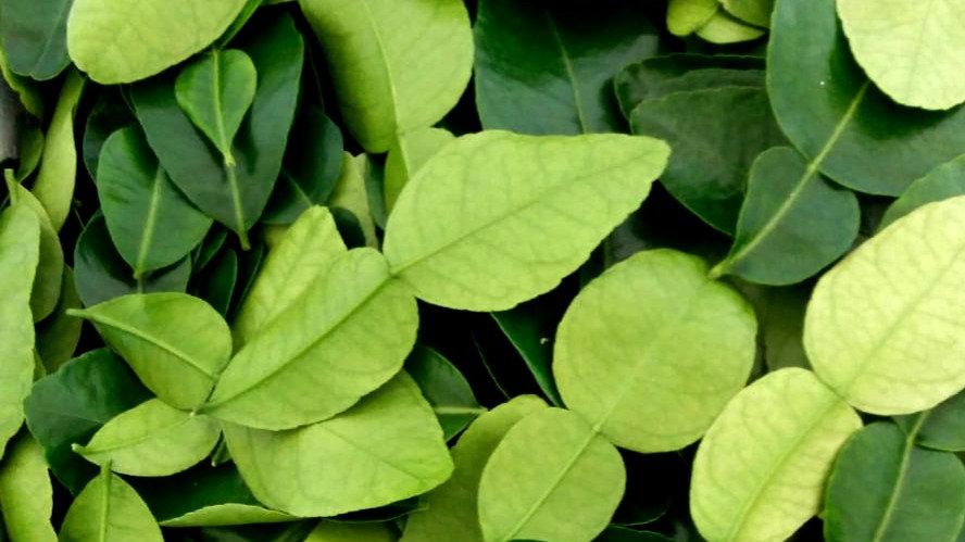 Hojas frescas de lima Kaffir orgánica: 1500 hojas