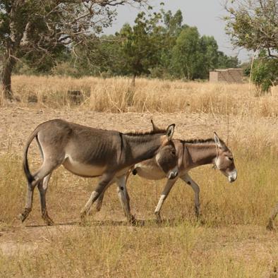 de ezeltjes mogen wat rusten