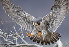 Peregrine Falcon in New Jersey.jpg