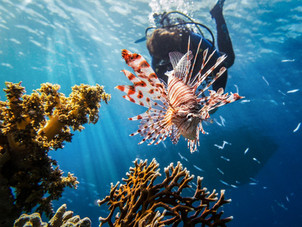 Feasting on the Enemy – Lionfish, the Cuisine that Will Save Our Seas