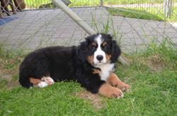 5. Rüde - Odin