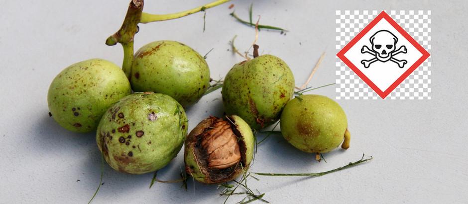 Für Hunde toxisch! Grüne Baumnüsse!
