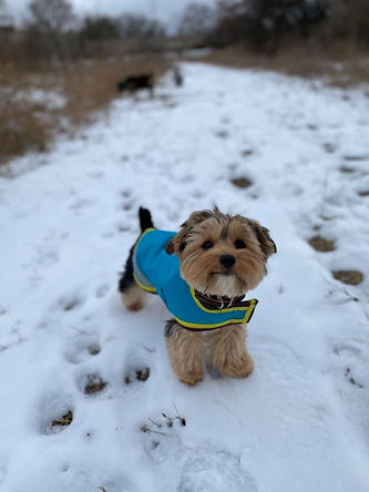 Puppy in the snow weaing a coat