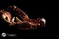 Muelas de cangrejo rey